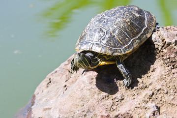 Sunbath turtle