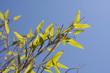 Bambu Leaves