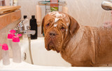 Cleaning the Dog of Dogue De Bordeaux Breed in bath.