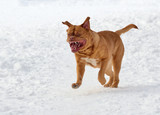 Wrinkled dog (French Mastiff) running towards the viewer in snow