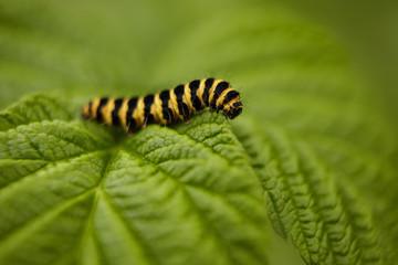 Close up of Cinnebar moth caterpillar