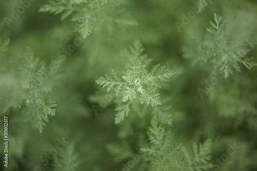 Close up of green Artemisia branch