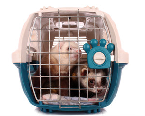 Two Ferrets in cage isolated on white