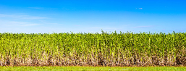 Panorama of sugar cane plantation, Queensland, Australia