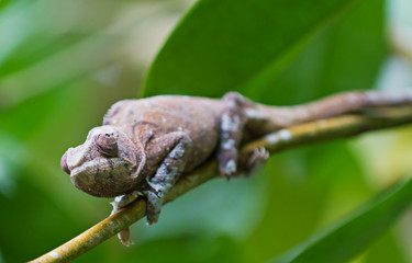 Brown Panther chameleon  crouches on branch