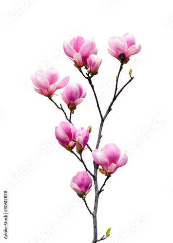 Foto op Canvas Magnolia Pink magnolia flowers isolated on white background