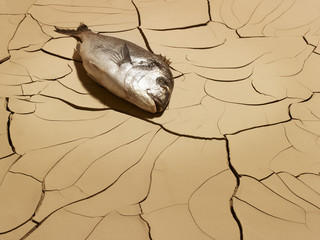 Dead fish laying on cracked mud