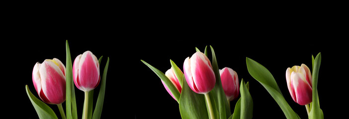 pink tulip isolated on black background