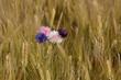 canvas print picture - fleurs dans les blés