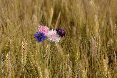 canvas print picture fleurs dans les blés
