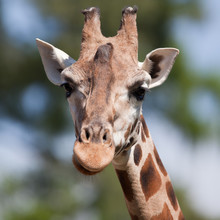 portrait of a giraffe (Camelopardalis) against green