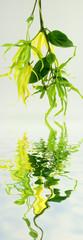 fleurs d'ylang ylang, cananga odorata