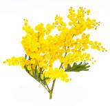 Fototapety branch of mimosa