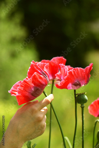 Poppy Flower Picking