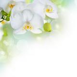 Fototapeta storczyk - kwiaty - Kwiat