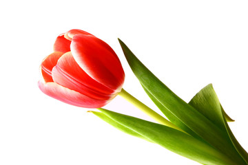 Closeup view of beautiful red tulip on white background
