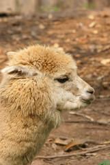 Alpaca's head close-up