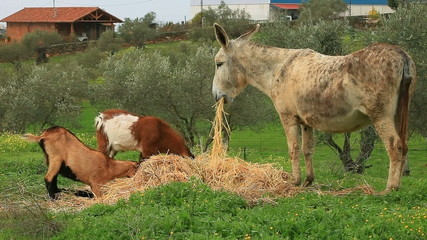 The donkey and two goats eat hay