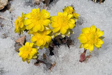 Flowers among snow 29