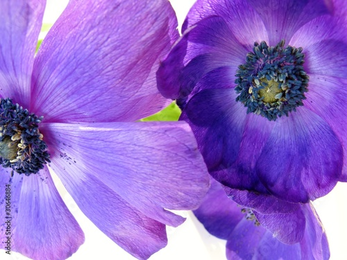 Blue Anemone flowers in spring
