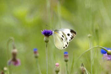 Cornflower with butterfly