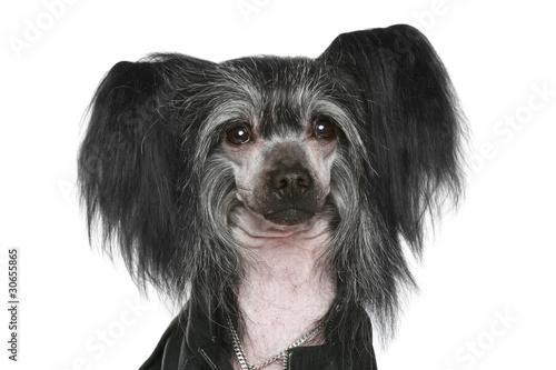 Fototapeten,chinese,hund,rasse,hairless