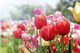 Fototapeta frühlingssonne auf tulpenbeet