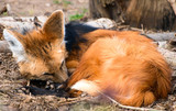 sleeping maned wolf poster