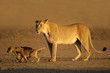 Lioness with young cubs, Kalahari desert, South Africa