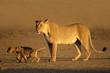 Lioness with young cubs, Kalahari desert, South Africa