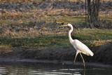Great Egret (Ardea alba) wading poster