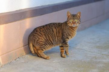American bobtail cat race