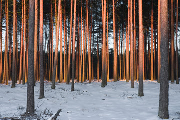 Forest in the poland