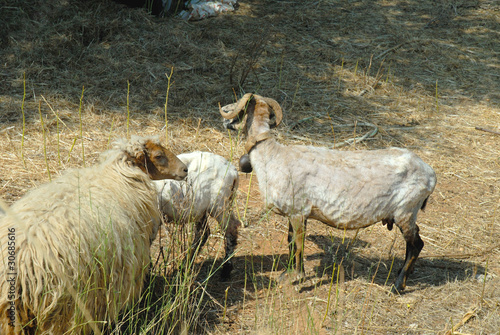 Sheep being shorn on island of Kephalonia in  Greece