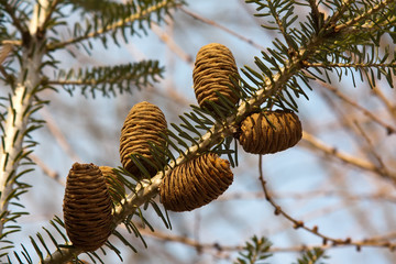 twig with fir cones