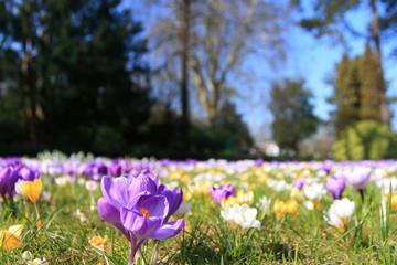 Blumenwiese im März / Meadow in March