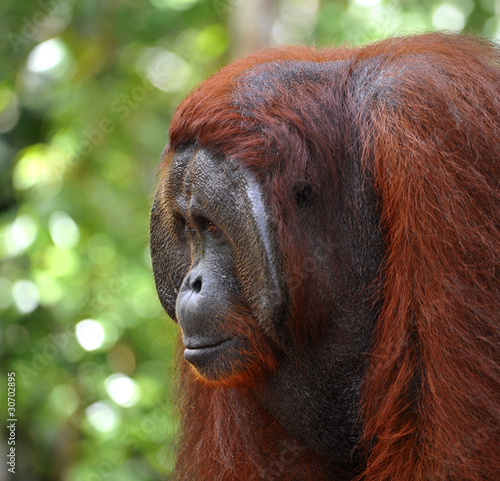 Fotobehang Leeuw Alpha-male of the Orangutan.
