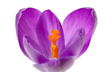 pink Dutch spring crocus flower over white background