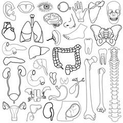 Internal organs, vector illustration, eps10