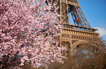 Spring in Paris. Blossoming cherry tree and Eiffel tower