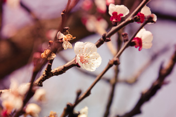 Apricot branch and flowers