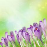 Crocus flowers on bokeh background