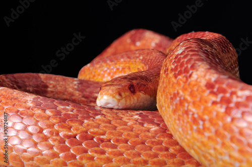 Corn Snake (Elaphe guttata), or Red Rat Snake