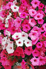 Pink and white petunias in full bloom