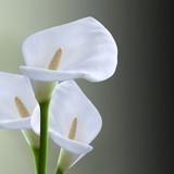 Fototapety kala flower