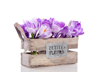 purple crocus flowers in a wooden crate with text isolated over