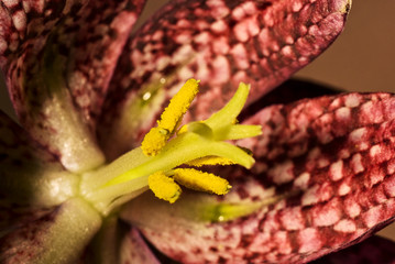 Blüte der Schachblume (Fritillaria meleagris)