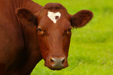 Red cow with a stain-heart on a forehead looking in a lens poster