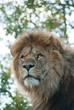 Portrait of a male lion (P. Leo)