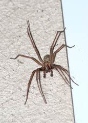 Hobo spider (Tegenaria Atrica) on the wall
